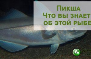 Рыба пикша, польза или вред